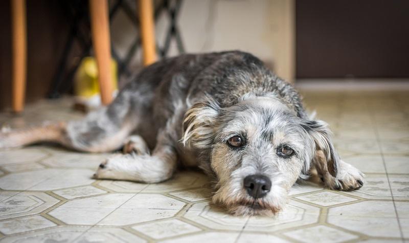 Der Hund ist apathisch und liegt nur noch teilnahmslos herum.
