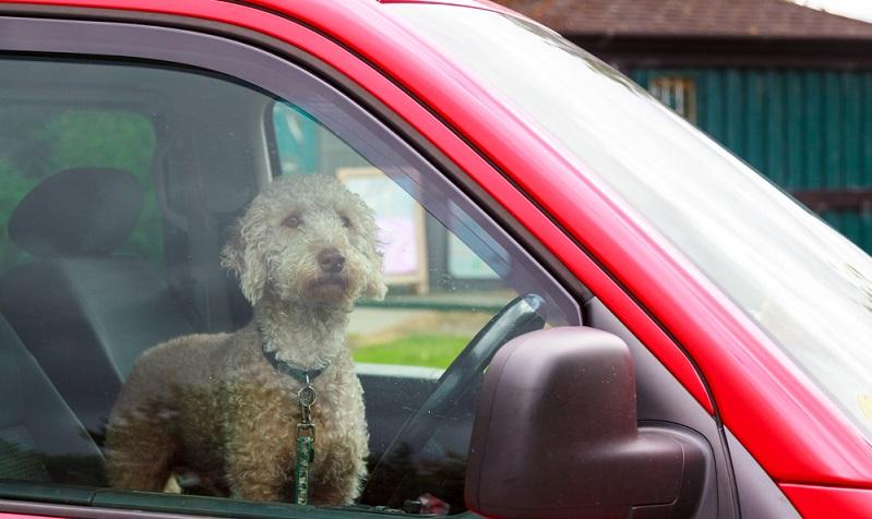 Hunde gehören bei heißen Temperaturen nicht ins geparkte Auto!