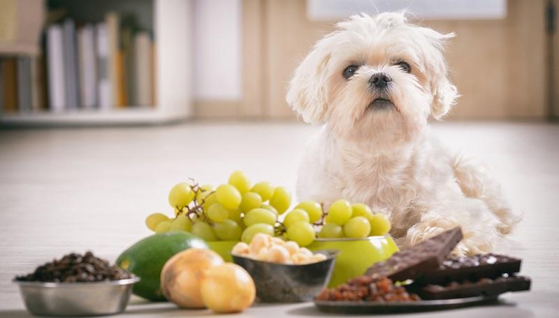 Hunde vertragen nicht alle Lebensmittel, die wir Menschen essen, einiges kann zu Vergiftungen führen.