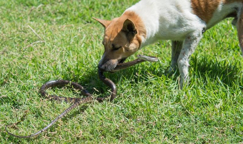 Wurde der Hund von einer Schlange gebissen, das Tier sofort einem Tierarzt vorstellen und falls möglich, ein Bild von der Schlange machen, damit der Tierarzt weiß um welche Art es sich handelt.