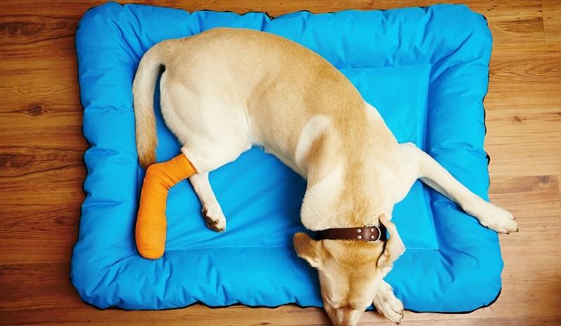Bei einem Beinbruch wird der Hund sehr schnell apathisch, denn er verfällt in einen Schock.