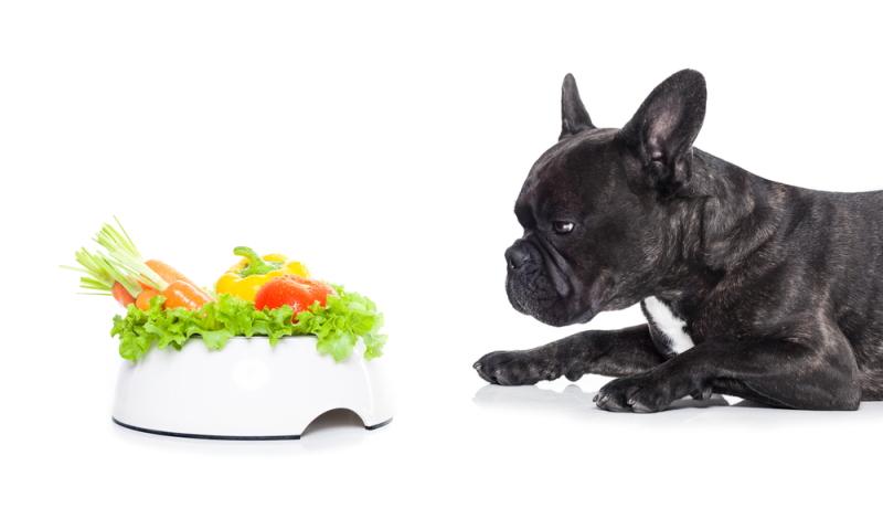Diese Französische Bulldogge sieht nicht begeistert zum veganen Futter hinüber.