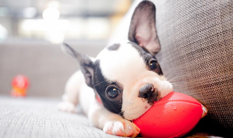 Ein süßer Welpe der Rasse Französische Bulldogge.