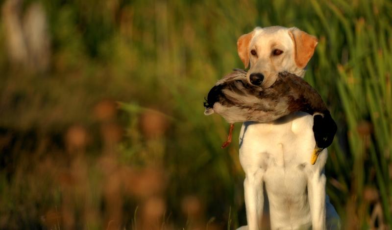 Der Labrador wurde als widerstandsfähiger Arbeitshund für die Jagd gezüchtet.