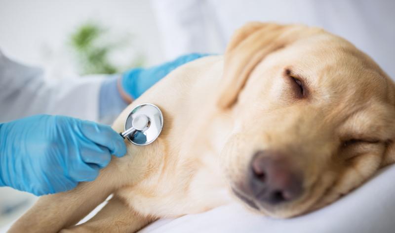 Ist der Labrador krank, leidet der Hundebesitzer mit.