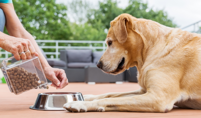 Der Labrador frisst unheimlich gern. Mit dem richtigen Futter kein Problem.