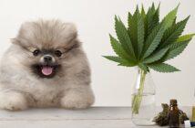 CBD Öl für Hunde: richtig dosieren zur Beruhigung, bei Epilepsie, Schmerzen, Allergie und Arthrose