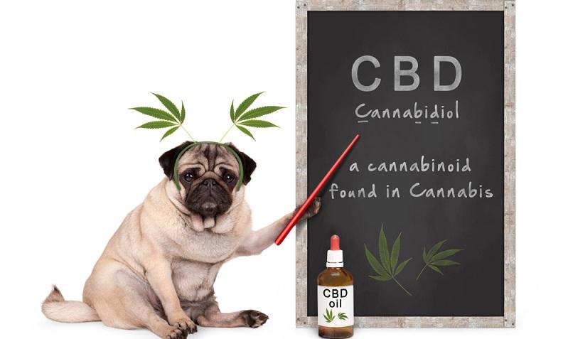 Nebenwirkungen können bei der Anwendung von CBD Öl für Hunde zur Beruhigung auch durchaus auftreten, auch wenn diese äußerst selten sind. ( Foto: Shutterstock- Monica Click )