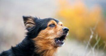 Kostenloses Hundegebell: MP3, Audiodateien, viel Gebell von Dobermann, Labrador & Co. als Clips (Foto: shutterstock - Sergey Bessudov)