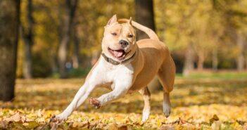 Kampfhundeliste: welche Hunde stehen 2020 auf der Liste? ( Foto: Shutterstock-Grigorita Ko)