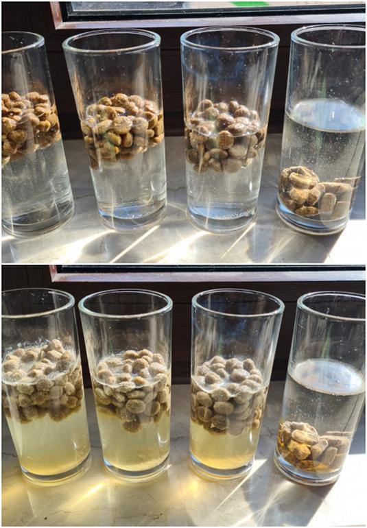 Links in den Gläsern befindet sich extrudiertes Trockenfutter. Im rechten ist Nahrung aus der Fleischsaftgarung zu sehen. Bereits nach einer halben Stunde ist das extrudierte Trockenfutter stark aufgequollen. (Foto: Julia Ross)