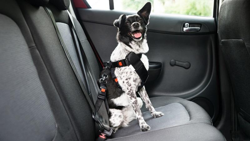 Der Autofahrer ist in der Pflicht, das Tier sicher anzuschnallen.  ( Foto: Shutterstock-Andrey_Popov )