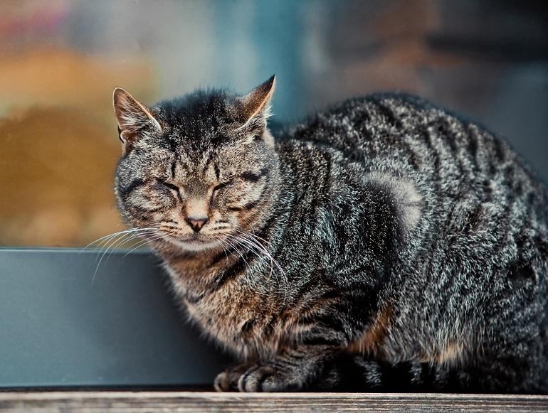 Auch Katzen werden alt. Dann steigt der Pflegebedarf und die Tierarztkosten werden höher. (Foto: shutterstock.com / OlegRi)