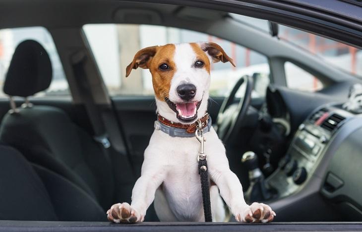 Bei der Reise mit dem Auto muss der Hund ausreichend gerichert sein. (Foto: shutterstock.com / KAZLOVA IRYNA)